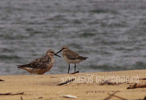21-09-14 red knot