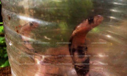 മൂര്ഖന് പാമ്പിനെ സംരക്ഷിക്കാന് ശ്രമിച്ച്  പുലിവാല് പിടിച്ചു