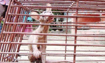 അജ്ഞാത ജീവി : പാവറട്ടിയില് പിടികൂടിയത്  രോമം കൊഴിഞ്ഞുപോയ മരപ്പട്ടിയെ