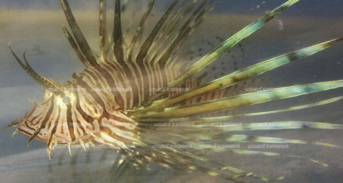 കനോലി കനാലിലെറിഞ്ഞ വലയില് സിംഹ മത്സ്യം