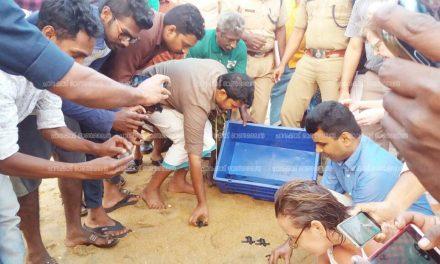 പാപ്പാളി കിണർ ബീച്ചിൽ കടലാമക്കുഞ്ഞുങ്ങളെ കടലിലിറക്കി